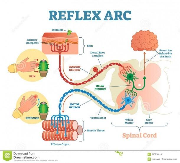 Spinal Reflex Arc Anatomical Scheme, Vector Illustration, With