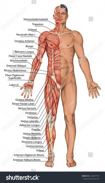 Royalty Free Stock Illustration Of Anatomical Board Male Anatomy
