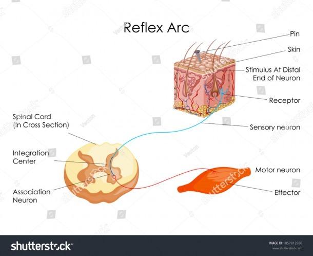 Education Chart Biology Reflex Arc Diagram Stock Vector (royalty