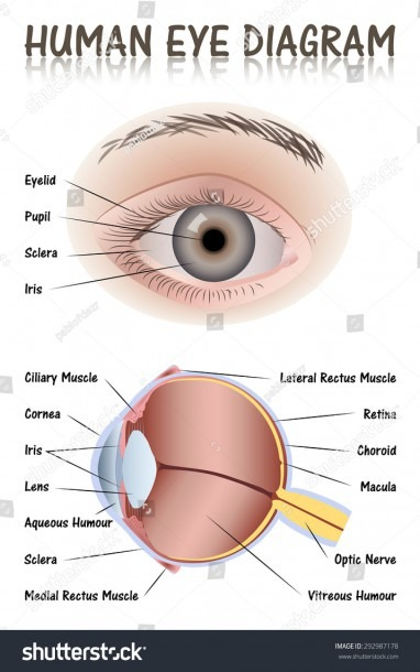 Human Eye Diagram Stock Vector (royalty Free) 292987178