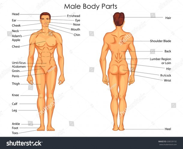 Medical Education Chart Biology Male Body Stock Vector (royalty