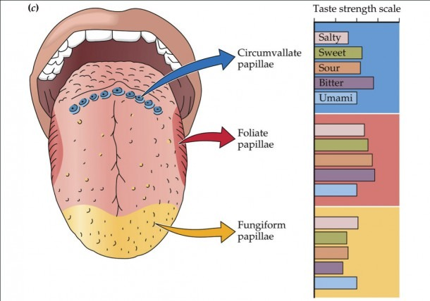 Taste Buds On Tongue Diagram Diagram  Diagram Of The Human Tongue