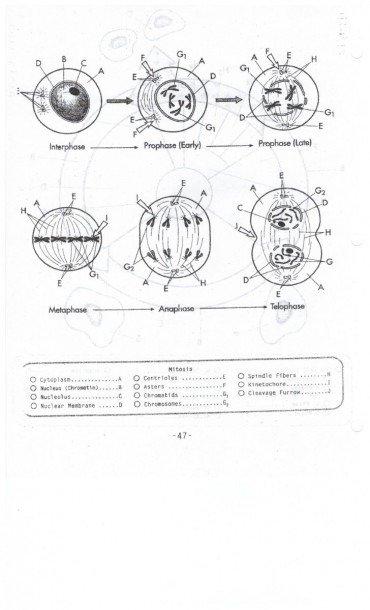 Mitosis Worksheet Key