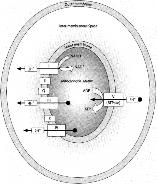 The Electron Transport Chain  Diagram Showing Complexes I, Ii, Iii