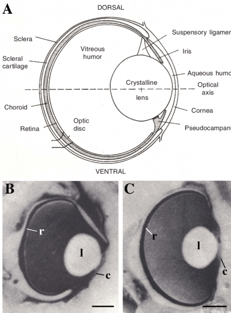 3  The Eyes Of Sharks And Rays  A  Schematic Diagram Of The Eye Of