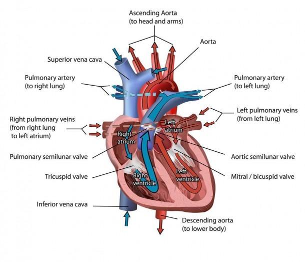 Circulatory System  Circulatory System Vs Cardiovascular System