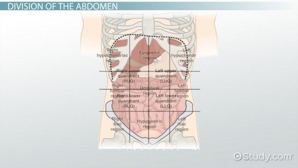 The 4 Abdominal Quadrants  Regions & Organs