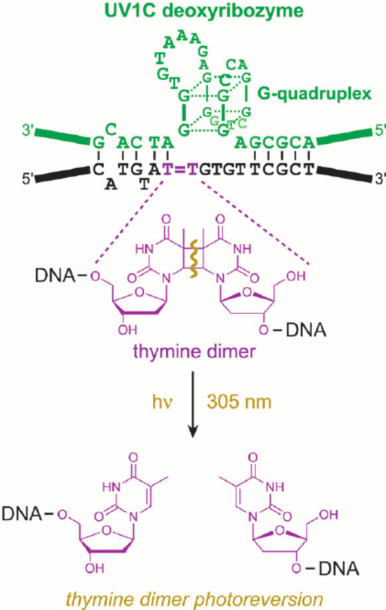 Thymine Dimer Photoreversion Catalyzed By The Uv1c Deoxyribozyme