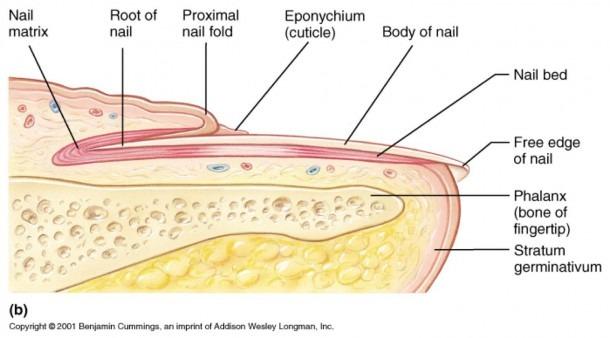 Toenail Anatomy Diagram
