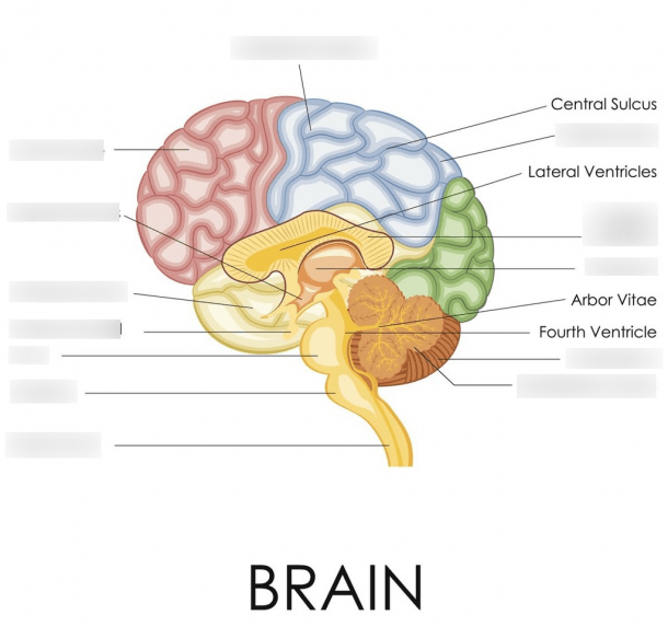 Brain Diagram Psychology