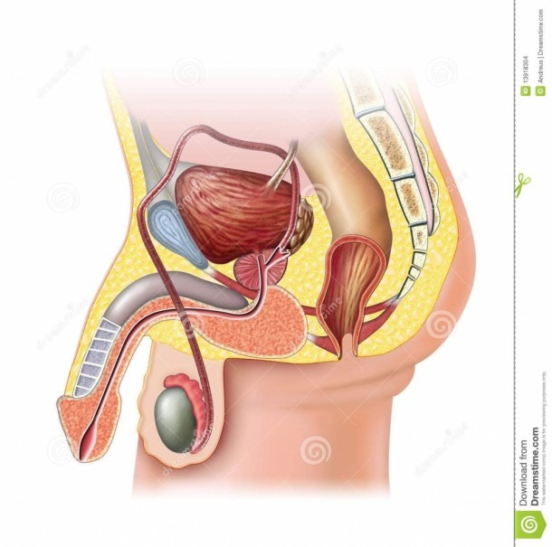 Unlabelled Diagram Of The Male Reproductive System Blank Male