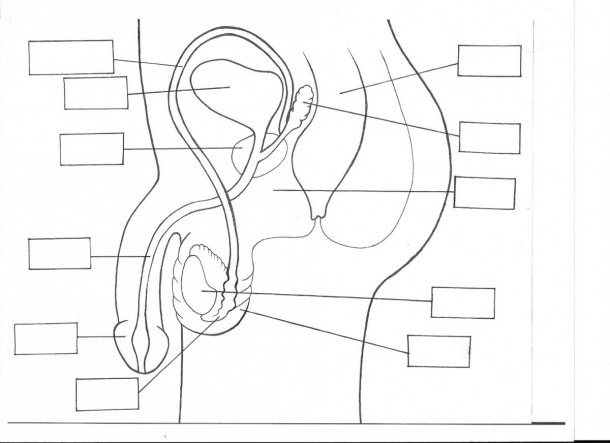 Unlabelled Diagram Of The Male Reproductive System