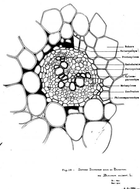 Vascular Bundle In The Rachis