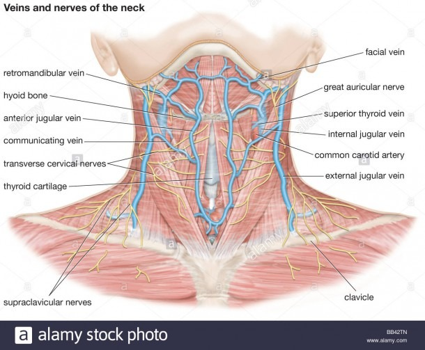 Veins And Nerves Of The Neck Stock Photo  24061653