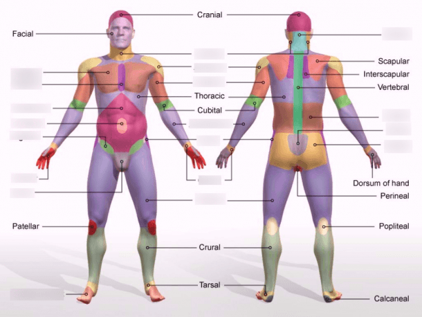 Body Regions (diagram) Diagram