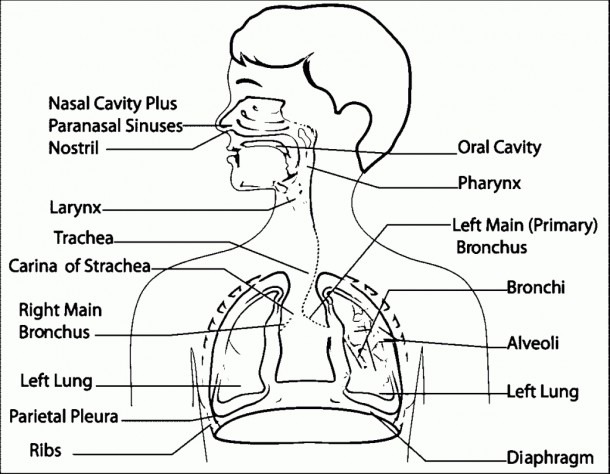 Respiratory System With Labels And Functions