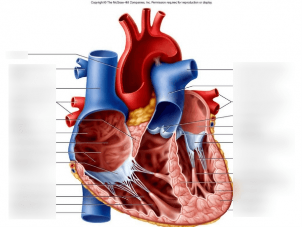 Internal Anatomy Of Heart Diagram