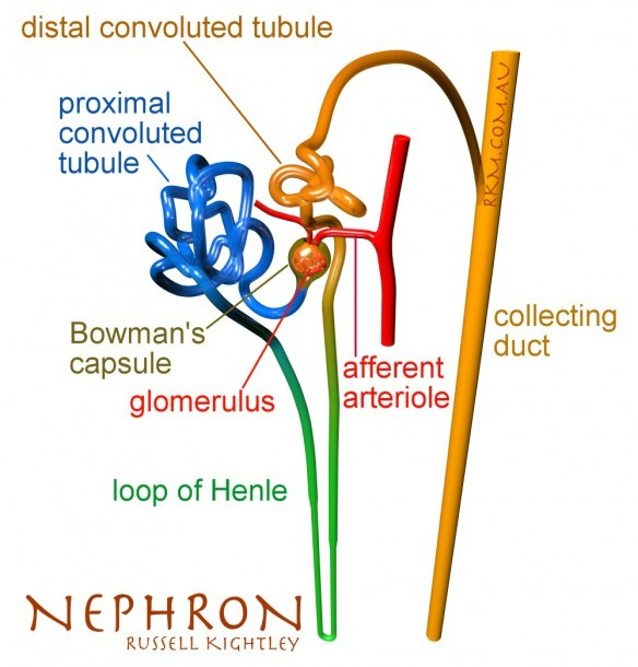 Images For Nephron Unlabeled